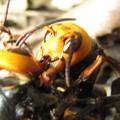 写真: 【4】オオスズメバチの戦い