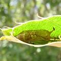 写真: ウコンカギバのサナギ(カギバガ科・カギバガ亜科)