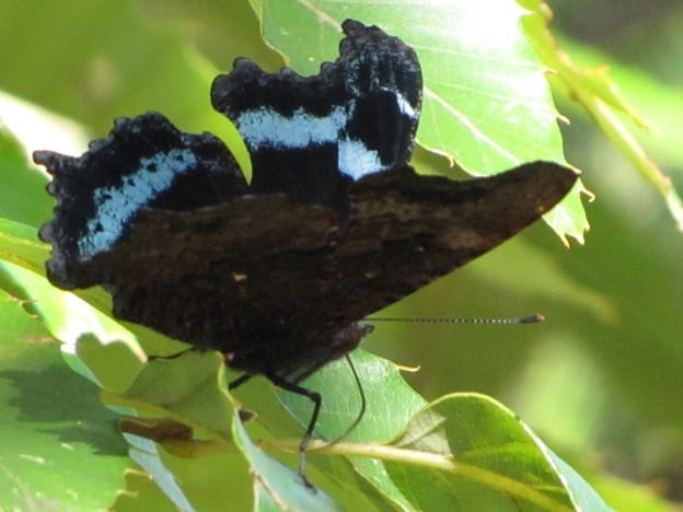 ルリタテハのオス秋型(タテハチョウ科)