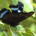 写真: ルリタテハのオス秋型(タテハチョウ科)
