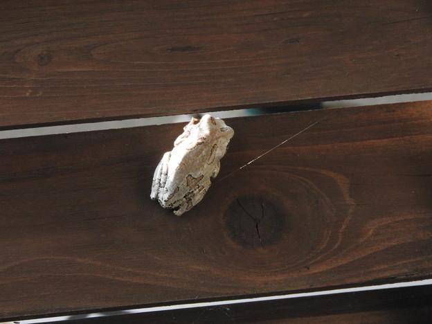 シュレーゲルアオガエル(アオガエル科・アオガエル属)日本固有種