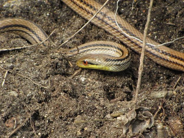 【2】シマヘビ
