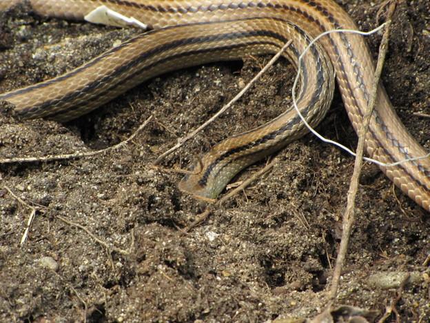 【3】シマヘビ