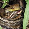 写真: 【4】シマヘビ