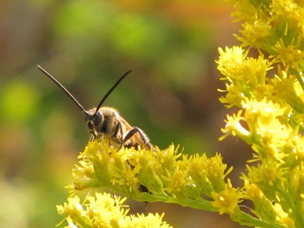 【1】キンケハラナガツチバチのオス(ツチバチ科)