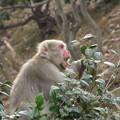 写真: ヤブツバキの葉を食べる雌猿