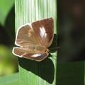 ウラギンシジミのメス(シジミチョウ科)