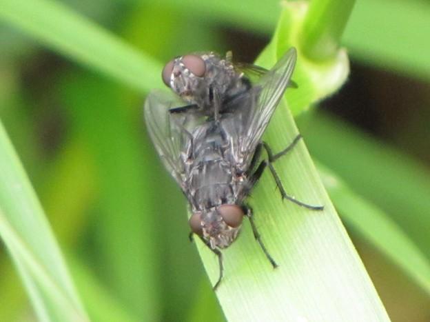 オオクロバエの雄と雌(クロバエ科)