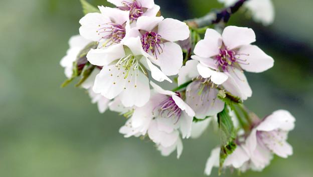 深山桜macro