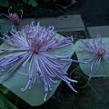 写真: 大輪が咲きました