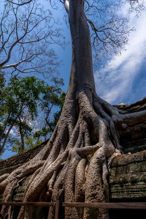 この遺跡で一番有名な木