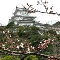 写真: 桜チラホラ