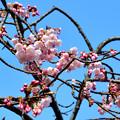 Photos: 彼岸桜
