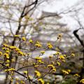Photos: サンシュユの花
