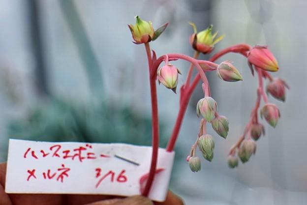 ハンスエボニーHybの花