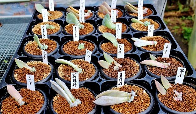 葉挿し苗の単独植え替え