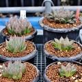 Photos: ベヌスタとミラーボールの交配種