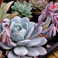 Photos: ラウイの花