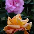 Photos: 咲いてますよ‥