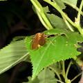 写真: フタツメカワゲラの一種2