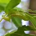写真: カラスヨトウ亜科幼虫