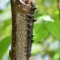 写真: ワモンキシタバ幼虫1