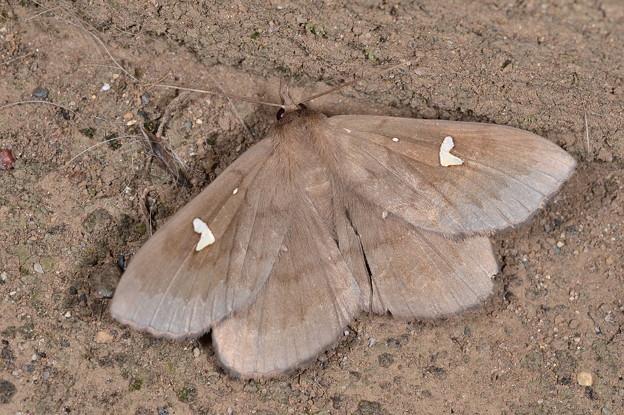 オオシラホシアツバ♂
