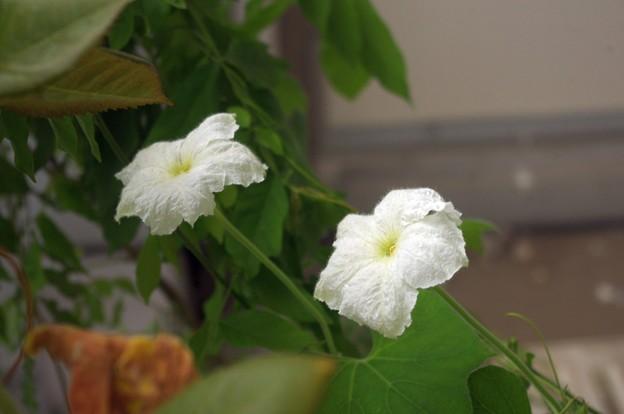 Photos: ひょうたん開花