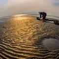 写真: 干潟でのマテ貝採り