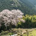 写真: 毎床大桜