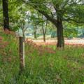 写真: 七ツ森古墳群の彼岸花