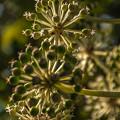 写真: 八手 (やつで)の花