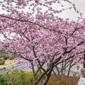 Photos: 御立岬公園の桜