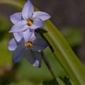 Photos: 早春の花 ハナニラ