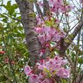 ????: 桜咲く