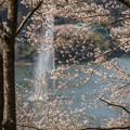 Photos: 桜と大噴水