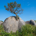 Photos: ど根性の木