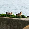 Photos: 青のりを喰う鳥さん