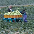 Photos: 収穫時
