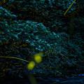 Photos: 蛍 ホタル fire fly