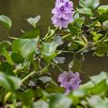 Photos: 淡紫色6弁の花