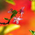 Photos: 彼岸花に染まるサクラ
