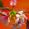 Photos: 秋なのに 狂い咲き