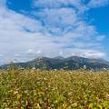 Photos: ソバ畑と阿蘇五岳