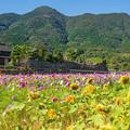 Photos: 防風石垣と秋桜