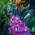 Photos: 極楽鳥花と共演