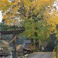 境内の銀杏黄葉
