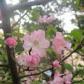 Photos: 博多区山王公園の桜 3