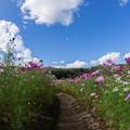 写真: コスモス風景3