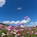 写真: コスモス風景4